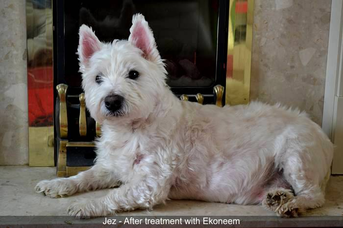 Jez - Westie - after using Ekoneem